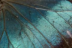 201409160007 (Giovanni Caddeo) Tags: caligobutterfly caligoeurilochus nikond7100 sigma150mmf28exdgoshsmapomacro animalplanet earthhour nginationalgeographicbyitalianpeople nikonclubit defendersofwildlife naturalmente totalphotoshop wildlife