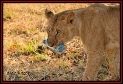 YOUNG LION CUB (Panthera leo)....MASAI MARA.....SEPT 2016 (M Z Malik) Tags: nikon d3x 200400mm14afs kenya africa safari wildlife masaimara keekoroklodge exoticafricanwildlife exoticafricancats flickrbigcats lioncubs leo lions ngc