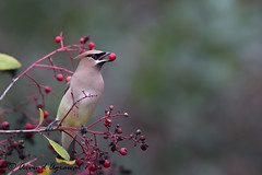 Cedar waxwing - IMG_5739 (arvind agrawal) Tags: cedarwaxwing bombycillacedrorum waxing bird wildlife berries canon1dx canon600mmf4ii canon14xiii arvindagrawal toyon heteromelesarbutifolia christmasberry