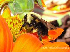 Pollination (Timeless Photography2) Tags: orange flower bird nature closeup photography close blossom bee timeless leafbud timelessphotography pollonation