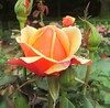 This rose is showing the beauty that is yet to come from the buds surrounding it. (tarabunnyears) Tags: flower nature rose gardens rosebud peachrose rosebuds reynaldo peachflower unopenedflower