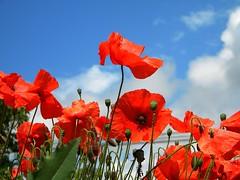 LO SAI CHE I PAPAVERI SONO ALTI, ALTI, ALTI .. (mario dsn 45) Tags: poppies flowerthequietbeauty