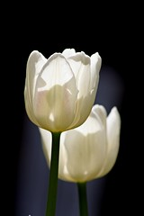 Two Tulips (haberlea) Tags: flowers plants white green garden spring mygarden springtime whiteflowers tulipwhitedream