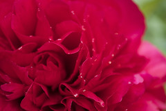 Perfect Peony (Nicki Ki) Tags: pink reflection droplets softness peony meditation
