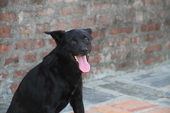Black Lab Buddy at Lumbini