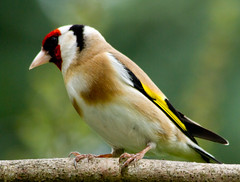 Goldfinch (Mukumbura) Tags: red england brown white black bird nature crimson yellow garden gold goldfinch finch fringillidae cardueliscarduelis europeangoldfinch
