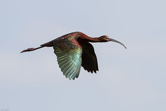 White-faced Ibis (Plegadis chihi): Mid-day Luster (Johnrw21) Tags: lake nature birds oregon photography wildlife flight ibis american waterfowl avian wading refuge marshes whitefaced
