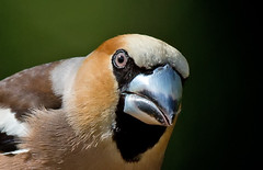 Hawfinch - what a bill!