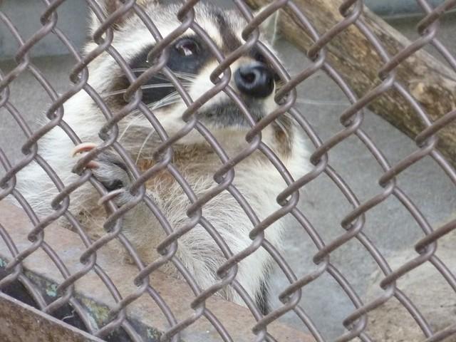 アライグマのエサやり!|須坂市動物園