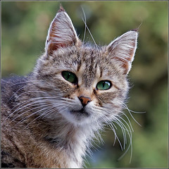 Cat (Yalitas) Tags: pet cats cat kat feline chat kitty gato felino katze katzen kot kedi kass gatta kotka  kocka  katte  katzchen kottur