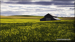 Palouse Gold (Just Used Pixels) Tags: yellow barn washington farm hills crop rollinghills palouse