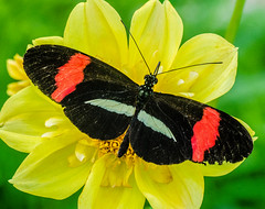 BF-11 (AZDenney) Tags: gardens butterflies insects publicgardens conservatories arboretums