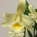 Sobralia (mirabilis x macrantha) – Merle Robboy