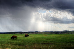 Bison getting wet (Notkalvin) Tags: storm rain southdakota america nationalpark buffalo explore bison windcave flickrexplore explored notkalvin