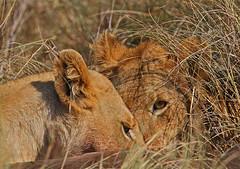Sharing! (View in original) (Rainbirder) Tags: kenya africanlion maasaimara pantheraleo rainbirder