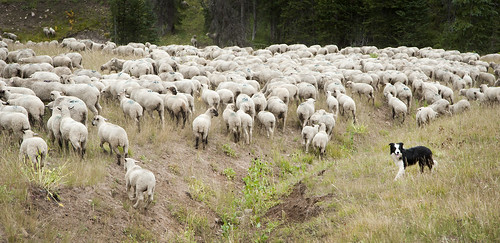Sheep Drive by tomkellyphoto, on Flickr