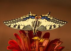 Papilio machaon (Psztor Andrs) Tags: red flower butterfly nikon hungary outdoor papilio andrs machaon psztor d5100