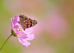 Cosmos and Butterfly (myu-myu) Tags: flower nature japan butterfly insect nikon ngc explore cosmos vanessacardui   cosmosbipinnatus   d300s aiafsnikkor300mmf4difed
