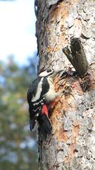 woodpecker (le d u m) Tags: wood red wild blackandwhite tree bird nature animal pine garden wooden woodpecker branch village woody doctor      greatnature