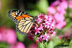 Monarch butterfly (Genny164) Tags: philadelphia butterfly pennsylvania monarch botanicalgardens longwoodgardens