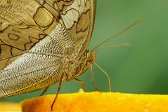 Orange Juice (Dirk 0701) Tags: butterfly makro insekt schmetterling 2013