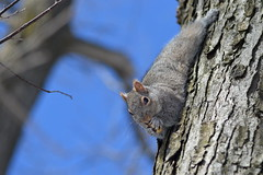 Squirrel (elnorbio) Tags: tree royal nut arbre mont squirell ecureuil