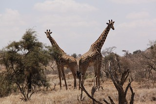 Giraffe in the foothills of Kilimanjaro