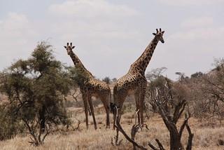 Giraffe in the foothills of Kilimanjaro