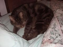 ** Un nid bien douillet... ** (Impatience_1(retour progressif)) Tags: pet animal cat feline chat tisha kitty m minou félin impatience ruby3 bête animaldecompagnie ruby10 ruby15