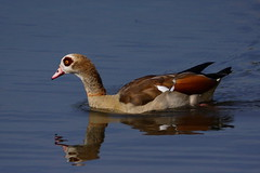 DSC00177 - Egyptian Goose (steve R J) Tags: reflection water birds forest goose explore egyptian waters epping connaught