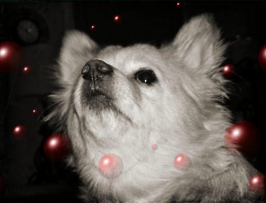 20++ Anjing pom mix chihuahua terbaru