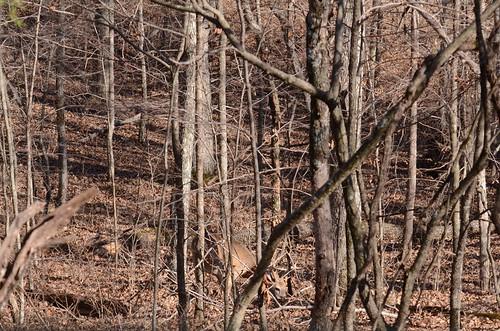 Buck Deer in Cover
