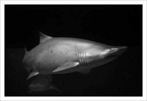 shark sharktank sandtigershark thart2009 greaterclevelandaquarium sonyrx100