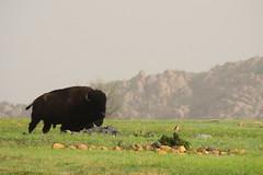 Wichita Mountains National Wildlife Refuge (sarowen) Tags: oklahoma buffalo wichitamountains wichitamountainsnationalwildliferefuge indiahoma wichitamountainswildfliferefuge