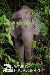 Asian Elephant (Altai World Photography) Tags: world park wild elephant heritage asian thailand site asia wildlife south unesco east national np southeast rare th khao yai pakchong nakhonratchasima