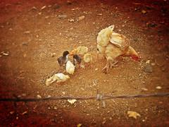 Galinha e seus pintinhos (duarte.marilia) Tags: animals galinha interior animais pintinhos