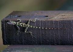 Anolis christophei (Dax M. Roman E.) Tags: dominicanrepublic lagarto republicadominicana cordilleracentral laespañola reservacientíficaebanoverde lahispaniola rcev daxroman anolischristophei