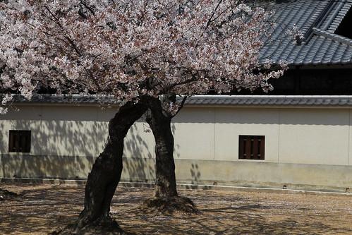 桜が通りすぎていく