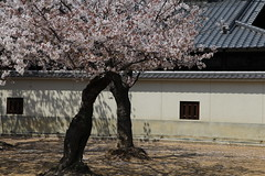 (eyawlk60) Tags: favorite tree japan canon temple eos spring favourites  cherryblossom  sakura 5d