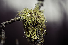 Joint (majestiele.co.uk) Tags: old white lake tree forest woodland beard moss rydal district fungi mans fungus cumbria lichen