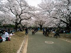 Yoyogi Park 1 (lhl) Tags: sakura hanami