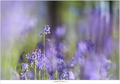 De hyacinten van het Hallerbos (5D326513) (nandOOnline) Tags: bomen belgi boom bos lente zon halle bloemen zonlicht bloem hallerbos lelie hyacint tranendal hyacinthoidesnonscripta bloeien beukenbos boshyacint beukenbomen wildehyacint vlaamsgewest
