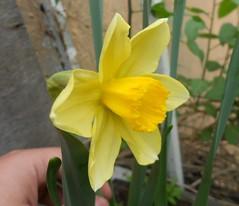 Narcissus 'Red Devon' (ak.sky13) Tags: flower yellow garden balcony daffodil narcissus amaryllidaceae reddevon