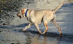 perros en la playa (Luis Diaz Devesa) Tags: espaa dog pet beach jump jumping healthy spain puppies europa playa perro galicia galiza boxer jugar salto mascota pontevedra perritos cadelo vilagarciadearousa saludable villagarciadearosa xogar luisdiazdevesa