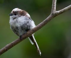 Long-tailed Tit (Mukumbura) Tags: summer england tree bird nature garden outdoors branch breast tits wildlife profile feathers perch longtailedtit aegithaloscaudatus