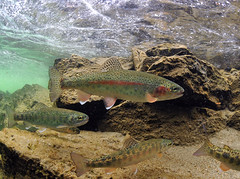 Pod of Rainbows (Fish as art) Tags: fish trout rainbowtrout salmonids underwatertrout paulvecseiphotography westerntrout