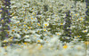 Focused on a Daisy (Allan Jones Photographer) Tags: daisy daisies fieldofdaisies bokeh bokehlicious flowers flower focus depthoffield allanjonesphotographer flora floral canon5d3 canonef24105mmf4lisusm petal petals stem stems focused bokehwhores