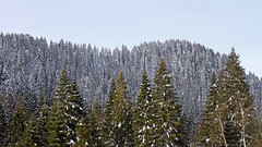 Fir forest after a snowfall (ab.130722jvkz) Tags: italy trentino alps easternalps dolomites vettefeltrine mountains snowfall winter