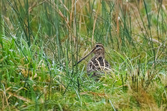 Snipe in the Grass (shaftina©tion) Tags: gallinagogallinago grass avian bird common damp droplets feathers grassland grassy meadow snipe wader wet shaftinactioncom