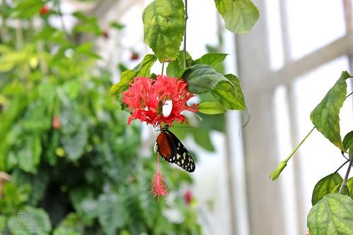 *Mainau - Schmetterlingshaus* - Tiger-Passionsfalter (Heliconius ismenius) an der Blüte  des Koralleneibisch (Hibiscus schizopetalus)